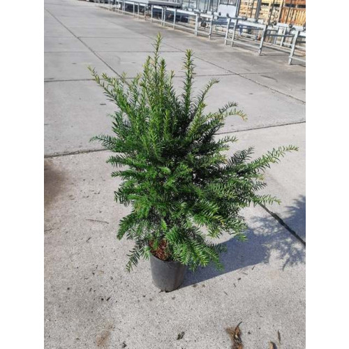 Taxus Baccata Hedging 60-80cm pot grown plant in 4lt pot - TAKING ORDERS FOR JUNE