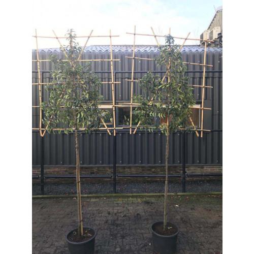 Portuguese Laurel Pleached ''Prunus Lusitanica'' 1.4m stem, 120cm x 150cm frame
