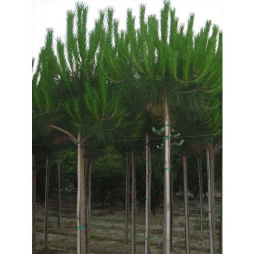 Pinus Pinea Standard 2 meter clear stem with 1.5 meter high head total height 3.5 meters (11 feet 6 inches)
