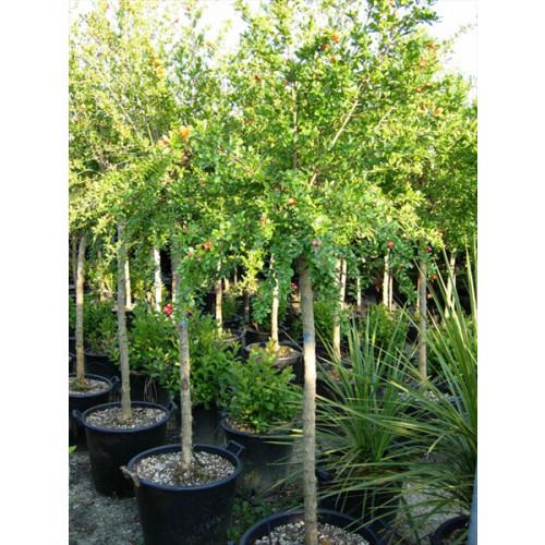 Pomegranate Punica Granatum 7-8 Feet High Including Height Of Pot, 20/25cm Stem Girth