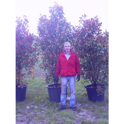 Photinia Red Robin 8ft 6in / 260cm including pot height