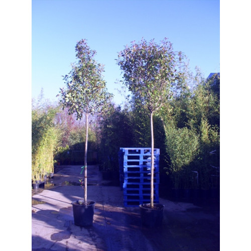 Photinia Red Robin Large standard 400cm including pot height (2 metre clear stem) 16/18 girth (Head dia 80-100cm