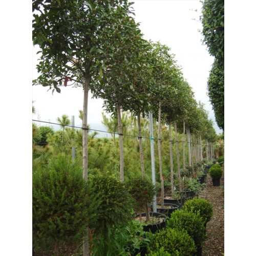 Photinia Red Robin Large Standard 1.8-2m Clear stem - 14/16 cmgirth - 80cm Crown - 3.5m (Aprox)Planted Height