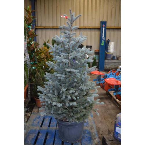 Picea Pungens 'Fat Albert' 145cm