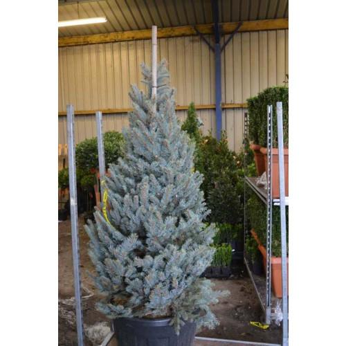 Picea Pungens Hoopsii 210cm