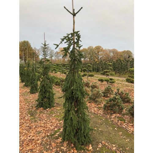 Picea abies 'Inversa', 225-250 cm