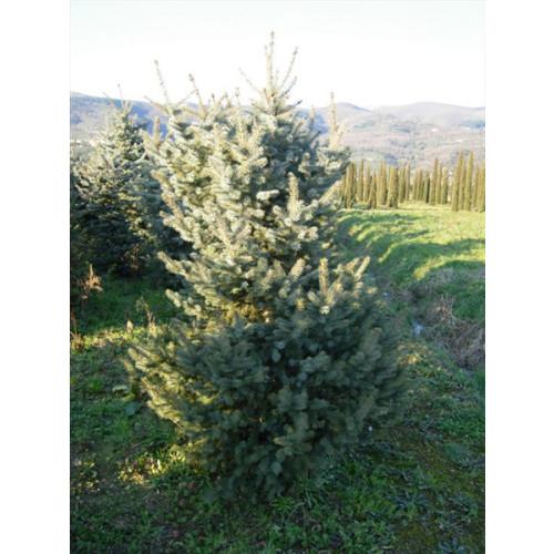 Picea Pungens Glauca 7 feet high inc height of pot