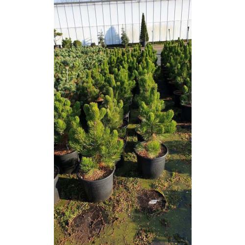 Pinus leucodermis, 50-60 cm C20
