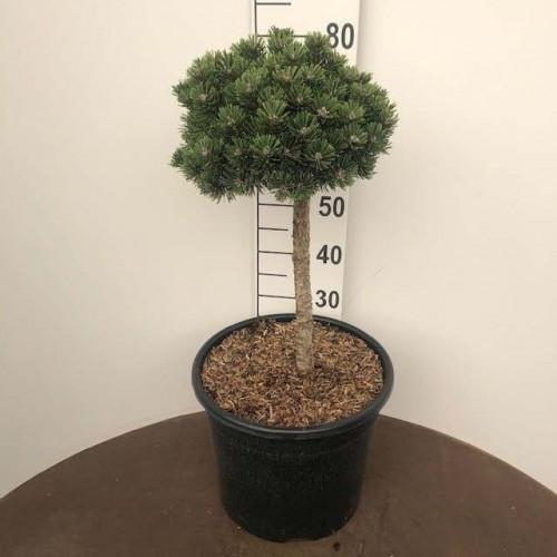 Pinus dens. 'Alice Vercade', Stam 40cm C20
