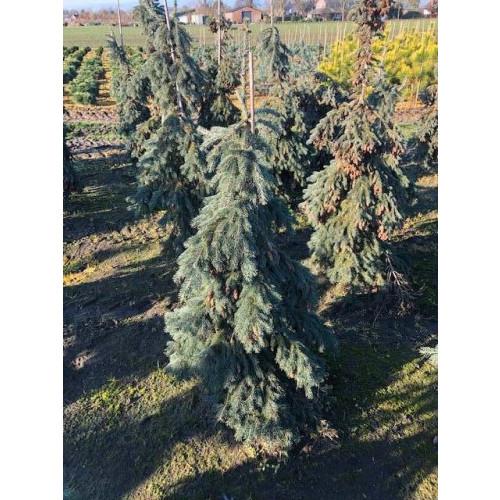 Picea gl. 'Pendula', 125-150 cm