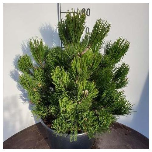 Pinus leuc. 'Compact Gem' 50-60cm in 25lt pot