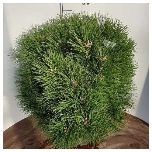 Pinus nigra 'Nana' 60-70cm in 45lt pot