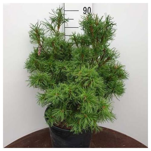 Pinus strobus 'Tiny Kurls', 50-60 cm C35