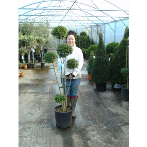 Privet 3-4 Ball 150cm / 5ft including pot height