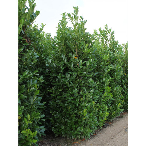 Cherry Laurel Hedging Rootball 3-3.5m (10-11ft) 'SOLITAIRE' - TAKING ORDER FOR EARLY NOVEMBER