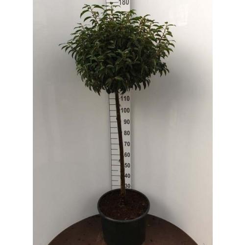 Prunus lus. 'Angustifolia' 100cm stem (total height 150cm) in 12lt pot