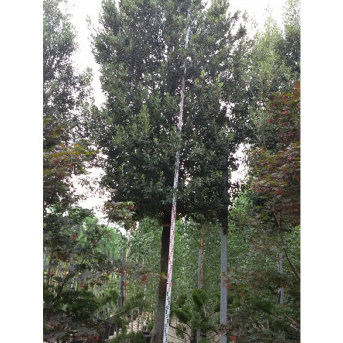 Quercus Ilex (Holm Oak, Evergreen Oak) Std 40/45cm girth, 2m clear stem, 5.5m total height - DOWN TO £3427.20 WITH 30% OFF  LIMITED QUANTITY!