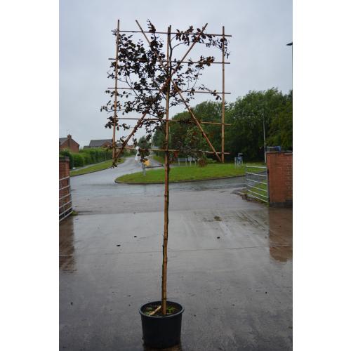 Fagus sylvatica ''Atropurpurea'' pleached 10-12cm girth 1.5m stem, frame 120 cm wide x 150 cm tall