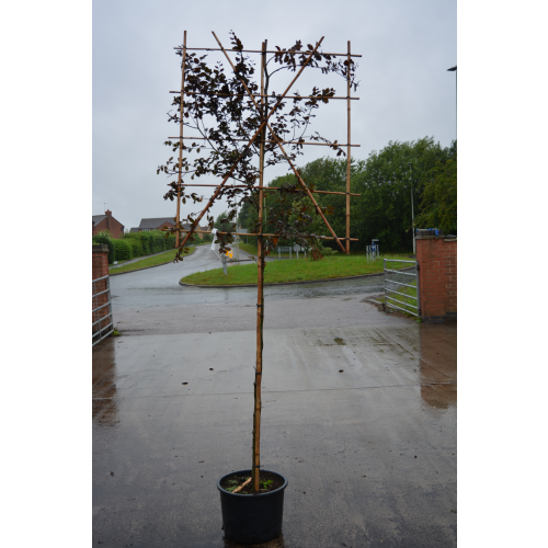Fagus sylvatica ''Atropurpurea'' pleached 10-12cm girth 1.5m stem, frame 120 cm wide x 150 cm tall - SOLD OUT - TAKING ORDERS FOR LAST WEEK IN JUNE