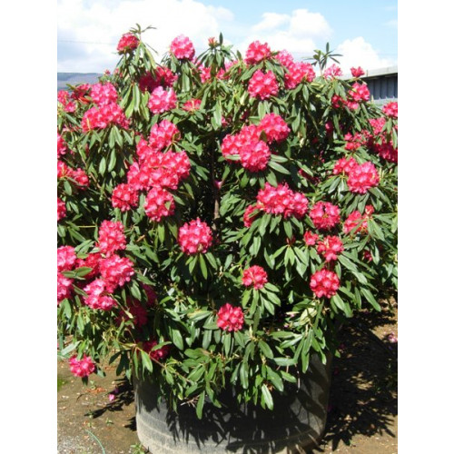 Rhododendron 230cm 7ft 6in including pot height, plant height 5 feet wide x 5 feet high!