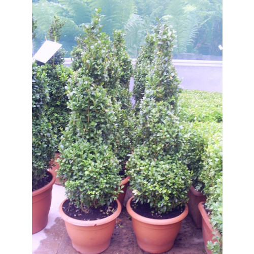 Box Buxus Spiral 90cm / 3ft including pot height