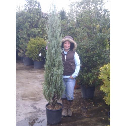 Juniperus Skyrocket pot gown 7ft 6in-8ft/230-240cm height including pot heightl