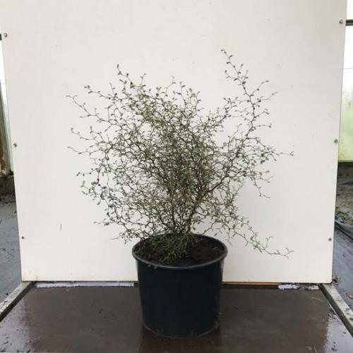 Sophora 'Little Baby' 50-60cm in 20lt pot