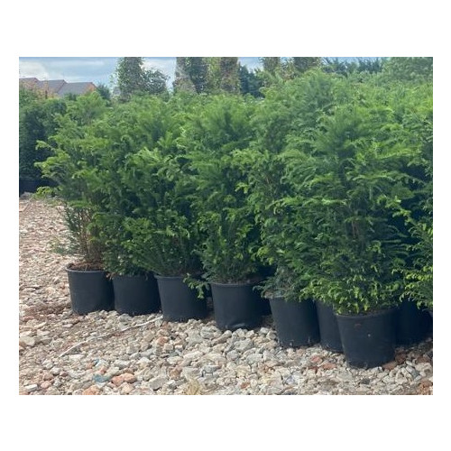 Taxus Baccata Hedging 150-175cm pot grown 35lt