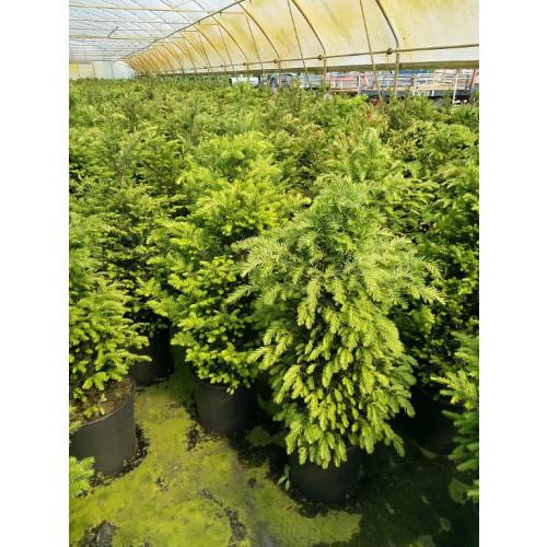 Taxus Baccata Hedging 100-120cm pot grown 18lt