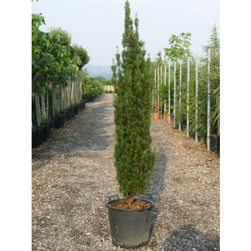 Taxus Baccata Fastigiata Gold Elegant Column 5ft 6in - 160cm high includes pot height