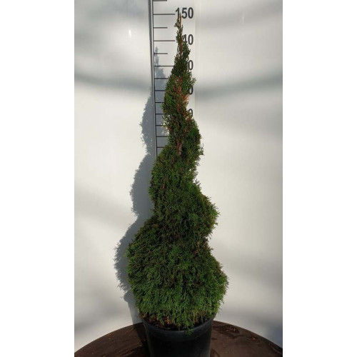 Thuja occ. 'Smaragd' Spiral 120-150cm in 20lt pot