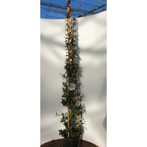 Star Jasmine (Trachelospermum Jasminoides) 3 canes, 175-200cm in 12lt pot