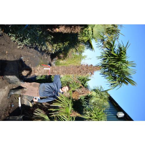 Trachycarpus Fortuneii Chusan Palm 300cm / 9-10ft  including pot height (Trunk 150cm)