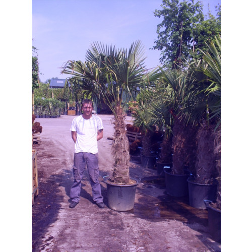 Trachycarpus Fortuneii Chusan Palm 210 - 230cm / 6ft 10in - 7ft 6in including pot height (trunk 110-120cm)