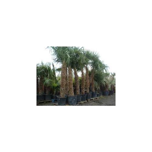 Trachycarpus Fortuneii Chusan Palm 550cm / 18FT including pot height (Trunk 300cm - 10ft)