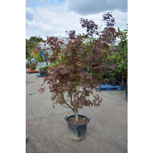 Acer Bloodgood Japanese Maple 9ft-270cm includes pot height