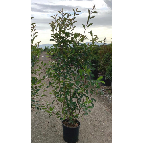 Photinia Red Robin 5-6ft EXCLUDING pot height - TAKING ORDERS FOR LAST WEEK IN MAY