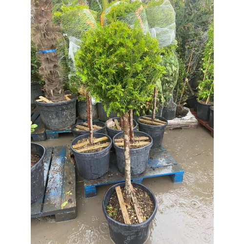 Taxus Baccata, Ball on Stem 1/2 STD, 30L Container