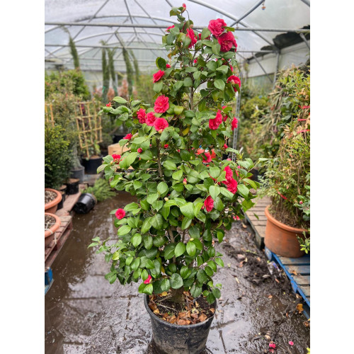Camelia Japonica Large 8ft/240cm high including height of pot