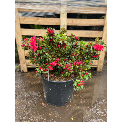 Rhododendron (AJ) 'Johanna' 60-80cm in 20lt pots - SOLD OUT - TAKING ORDERS FOR SUMMER 2021
