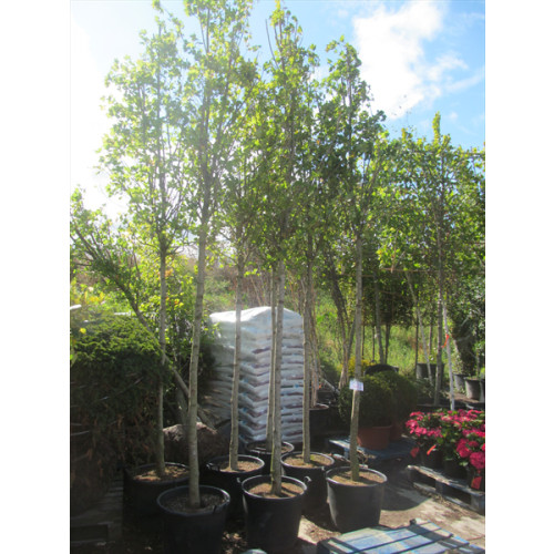 Acer Campestre Field Maple 16/18 13 feet 6 inches high plant height