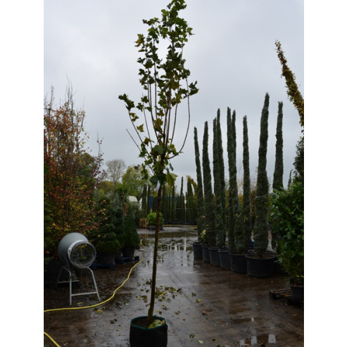 Acer Platanoides  ''Emerald Queen'' Field Maple 14/16 girth 1.8 meter stem 13 feet total planted height