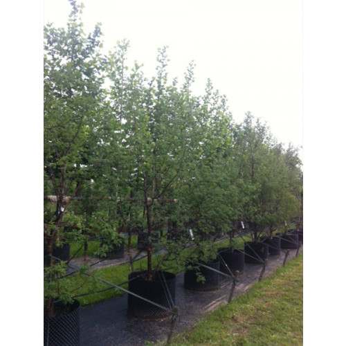 ACER GRISEUM PAPERBARK MAPLE 2.75 METERS IN THE GROUND