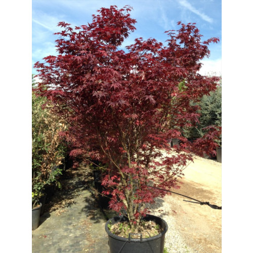 ACER PALMATUM 'BLOODGOOD' 300cm/10ft including height of the pot