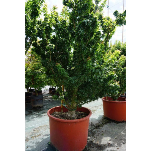 Acer palmatum ''Shishi-gashira'' in 30L pot 160cm tall including height of the pot