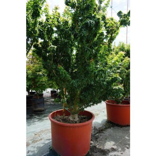 Acer palmatum ''Shishi-gashira'' in 30L pot 160cm tall including height of the pot