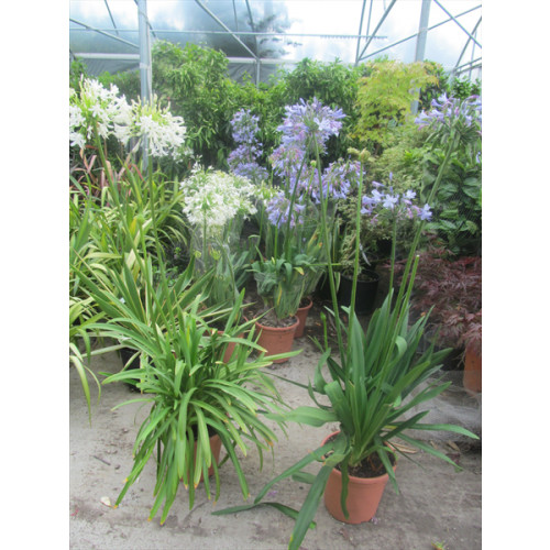AGAPANTHUS BLUE height before head 60-80cm,to head 137 -150cm includes height of pot