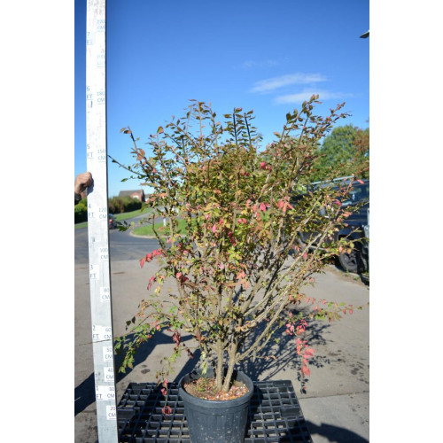 Euonymus Alatus 160cm including height of the pot