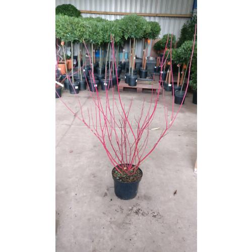 Cornus Sibirica in 10lt pot