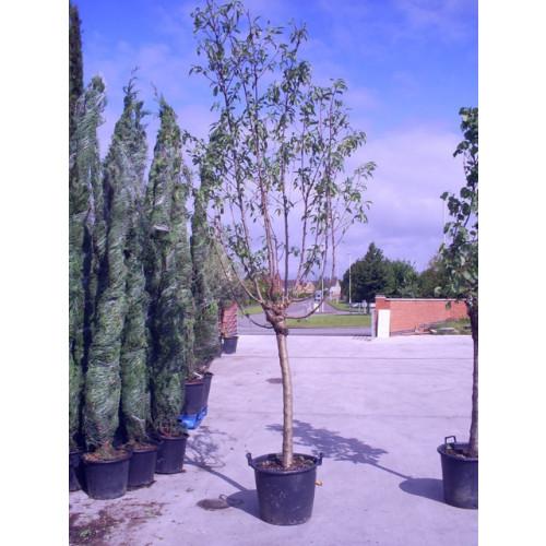 PRUNUS AMYGDALUS (MANDORLO/ALMOND)Tree height 11ft10in-360cm girth 20cm